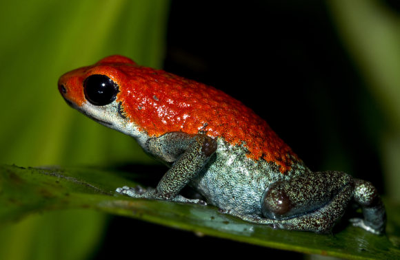 Poison Dart Frog Tour and Rainforest Hike